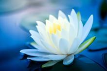 Beautiful White Lotus Flower W...