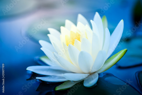 Garden Poster Lotus flower beautiful White Lotus Flower with green leaf in in pond