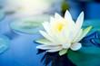 Leinwanddruck Bild - beautiful White Lotus Flower with green leaf in in pond