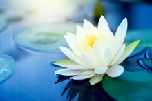 Beautiful White Lotus Flower W...