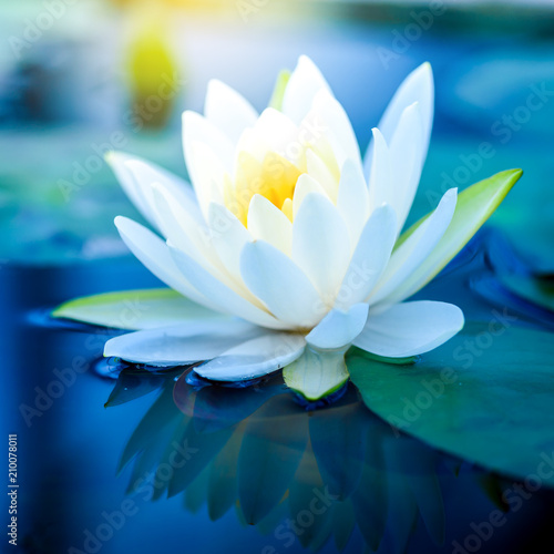 Foto op Canvas Lotusbloem beautiful White Lotus Flower with green leaf in in pond