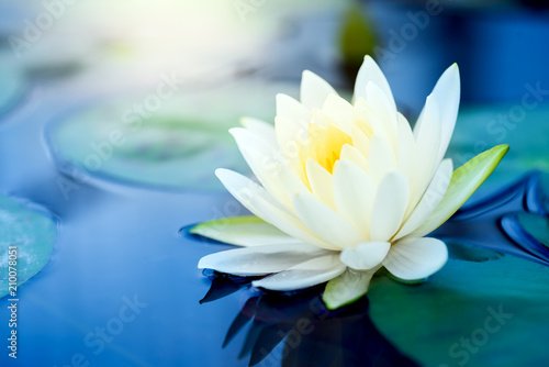 Wall Murals Water lilies beautiful White Lotus Flower with green leaf in in pond