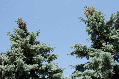 green pine tree top on blue sky, copy space. nature and environment conept with nobody.