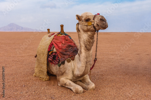 In de dag Kameel Camel in the Sinai Desert, Sharm el Sheikh, Sinai Peninsula, Egypt.