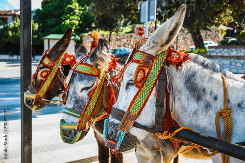 Fotografie, Obraz Close up of colorful decorated donkeys famous as Burro-taxi waiting for passengers in Mijas, a major tourist attraction