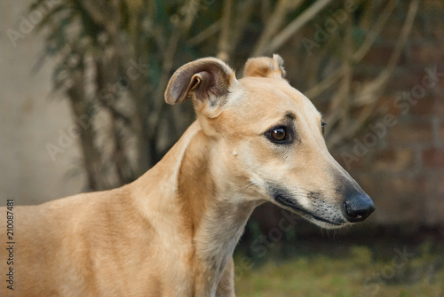 Portrait of a young greyhound outdoor in the garden Wallpaper Mural