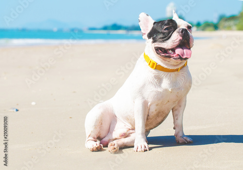 Cadres-photo bureau Bouledogue français french bulldog stand on the sand beach