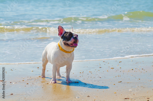 Poster Bouledogue français french bulldog stand on the sand beach