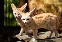 Two Small Red Fennec Fox Walk ...