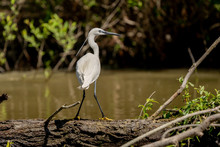 White Heron Egret (Ardea Alba) Witting On A Bench In The Danube Delta. Great White Heron