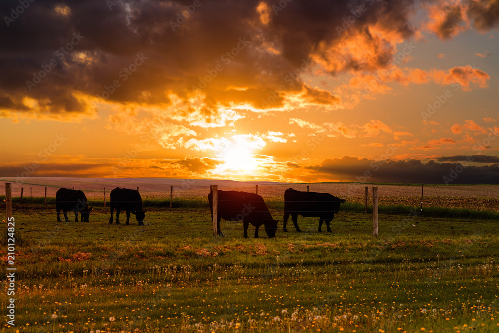 Fototapeta Bulls graze in a meadow on the sunset and the stormy sky background. Iowa State. USA