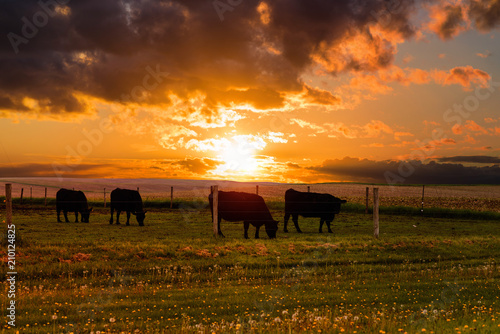 Poster Texas Bulls graze in a meadow on the sunset and the stormy sky background. Iowa State. USA
