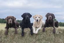 Four Labradors On Hay