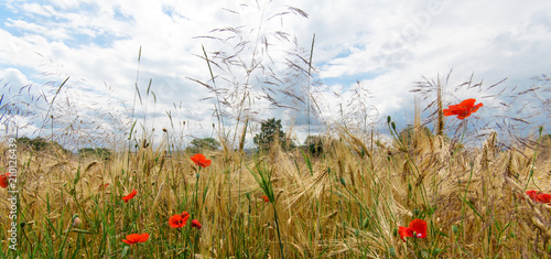 Fotografie, Obraz Summer happiness, love of life: wonderful meadow with red poppies :)