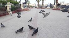 Chasing Birds Street Pigeons F...