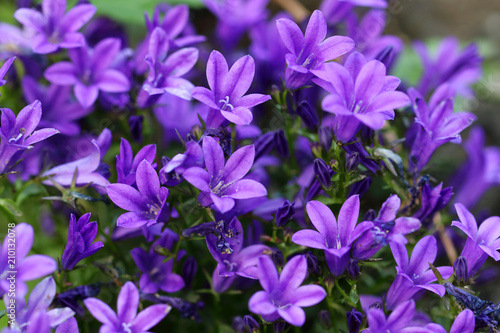 Foto op Canvas Lilac Campanula of walls or bellflower flower is a perennial