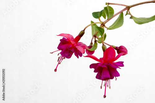 Tablou Canvas Close up of a branch with blooming pink fuchsia flowers isolated against white b