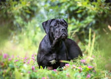 Portrait Of A Cane Corso Dog O...