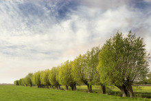 Typical Dutch Landscape With Green Meadow, Grass, A Row Of Beautiful Willows And A Blue Sky With Clouds