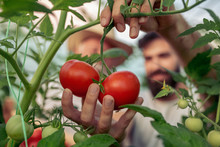 Family In Tomato Plant At Hoth...