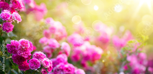 mata magnetyczna Spring or summer floral background; pink rose flower against the sunset sky