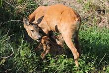 A Roe Deer Feeding Its Fawn