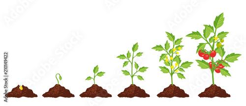 Fotografie, Obraz Tomato stage growth
