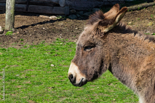 Foto op Canvas Ezel A profile of a donkey or mule face with green grass behind.