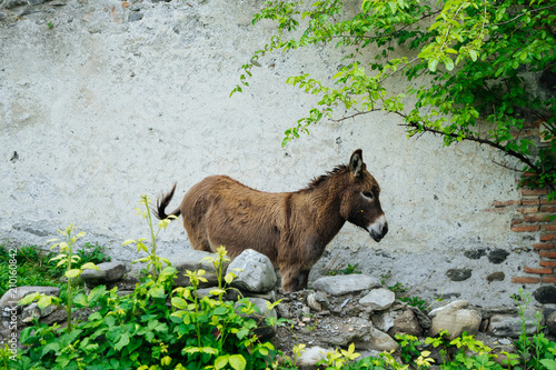Brown donkey standing at wall