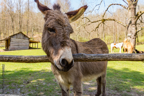 Deurstickers Ezel A brown donkey or mule standing by a fence or gate with a rustic farm behind him.