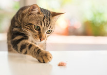 Beautiful Feline Cat At Home. Domestic Animal.
