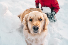 Boy And His Golden Retriever Dog Playing In The Snow