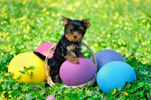 Yorkshire Terrier Puppy Leaning On The Giant Easter Eggs