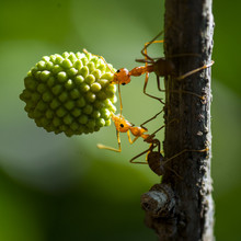 Two Ants Carrying Part Of A Plant, Indonesia