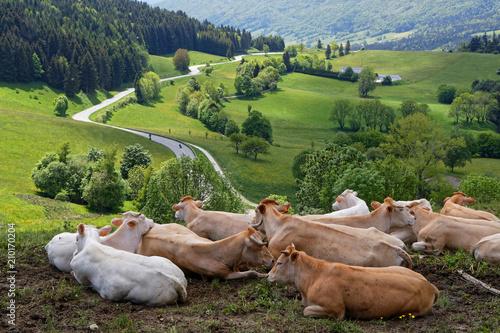 Poster de jardin Vache Des vaches et une route sur le plateau du Vercors