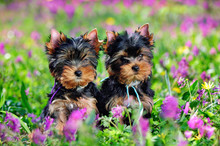 Outdoor Portrait Of Two  Yorkshire Terrier Puppies At The Spring Lawn