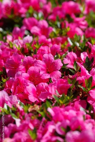 Foto op Canvas Azalea Azalea (tsutsuji, Rhododendron sp.)