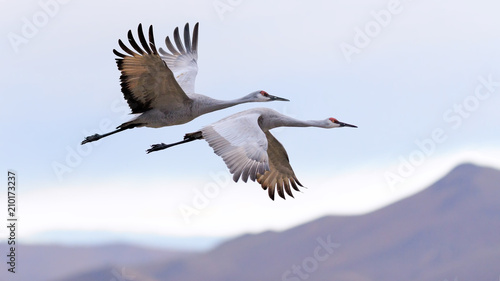 Spoed Fotobehang Vogel Flying cranes