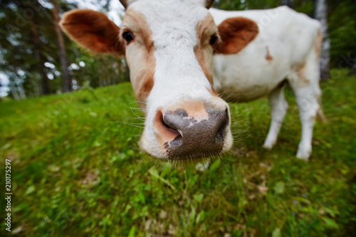 Poster Koe Funny portrait of a cow in a meadow. Shot on a wide-angle lens.
