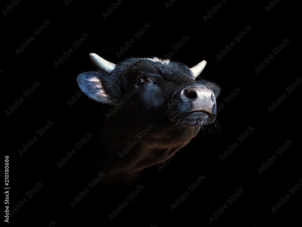 Fototapeta Portrait of a black bull isolated on a black background. Beef with his head held up, oxen head close-up, ox. Cattle