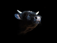 Portrait Of A Black Bull Isolated On A Black Background. Beef With His Head Held Up, Oxen Head Close-up, Ox. Cattle