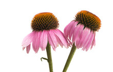 Echinacea Flowers Isolated