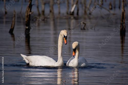Deurstickers Zwaan Swans