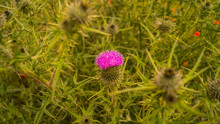 Single Purple Thistle On Green...