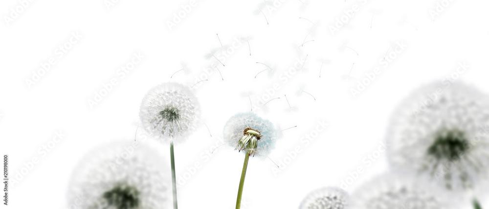 Fototapety, obrazy: Schöne Pusteblumen freigestellt