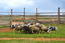 Australian Shepherd Working