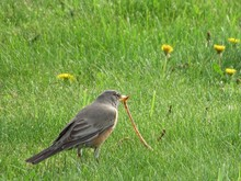 Robin Pulling A Long Worm Out Of Grass