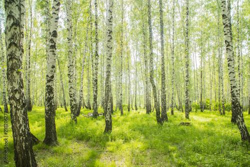 Fotografija summer birch forest