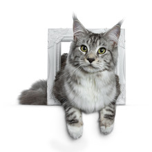 Pretty Young Adult Black Silver Tabby Maine Coon Cat Laying In A White Photo Frame Isolated On White Background, Looking At The Lens With Paws Over Edge