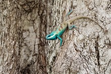 Blue Chameleon In Tropical Are...